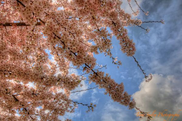 091 Cherry Blossom - Redmond