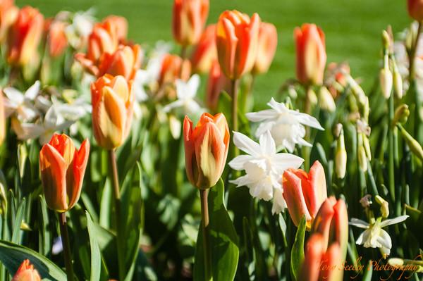 103 Tulips - Roozengaarde