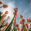 114 Tulips - Mount Vernon
