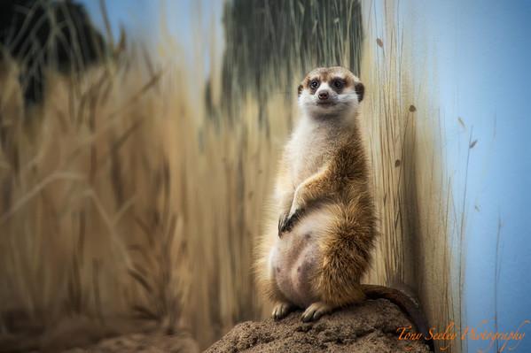 185 Meerkat - Woodland Park Zoo