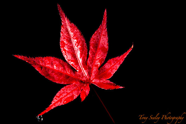289 Japanese Maple Leaf - Redmond