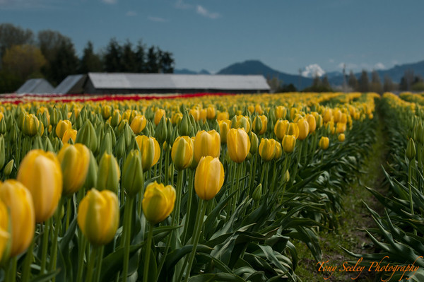132 Yellow Tulip Field - Mount Vernon