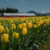 132 Yellow Tulip Field - Mount Vernon