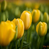 117 Yellow Tulips - Mount Vernon