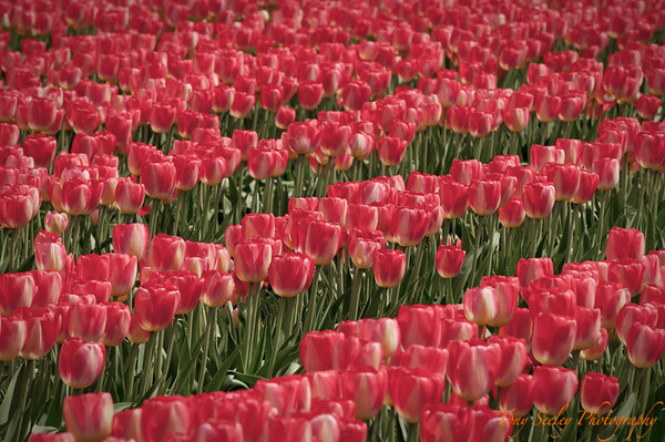 112 Red Tulips - Mount Vernon