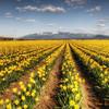 100 Daffodils - Mount Vernon