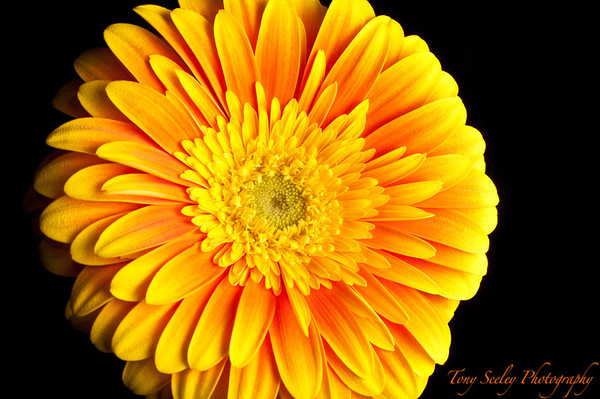 040 Yellow Gerbera Daisy - Home