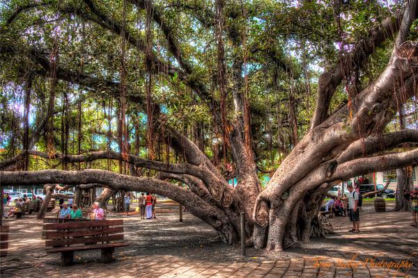 198 Banyan Tree - Lahaina