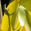 208 Gecko - Maui