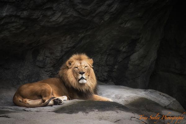 182 Lion - Seattle