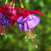 168 Hanging Fuchsias - Home