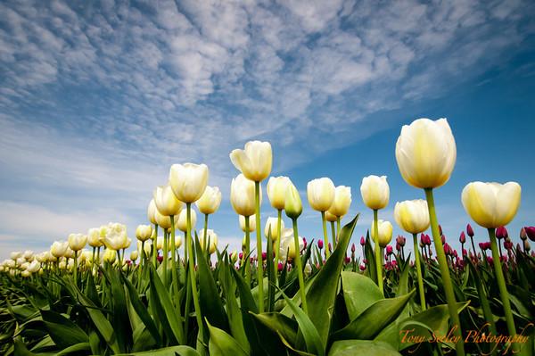 158 White Tulip - Mount Vernon