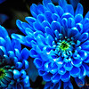 025 Blue Chrysanthemum - Home