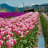 119 Tulip Rows - Mount Vernon