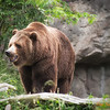 184 Grizzly - Woodland Park Zoo
