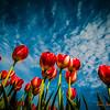 358 Tulips - Mount Vernon