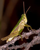 This grasshopper's green coloring and texture on its back is exactly like a blade of St. Augustine grass. He would be invisible except he is in a tree.
