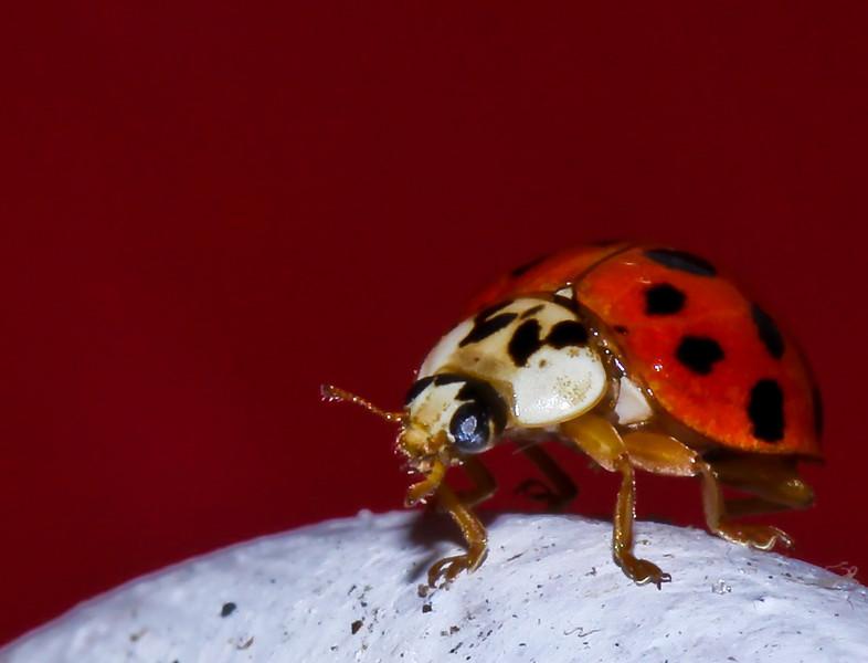 break-dancing ladybug