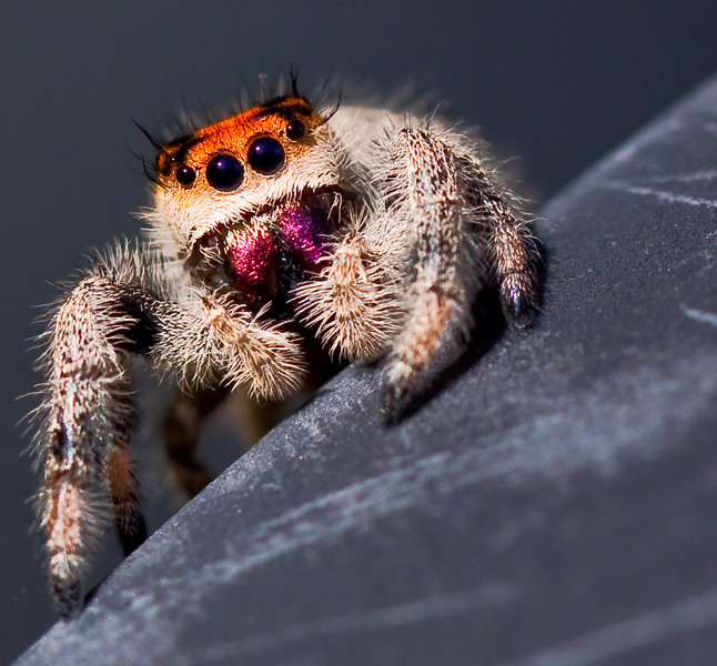 "If it is possible to meet a spider and experience love at first sight, then it happened to me today. This little guy stole my heart. I may have to give him a whole album.<br /> and I did: <a href=""http://cat-a-log.smugmug.com/Nature/Salticidae/13350962_WWorR#970637370_djwUq"">http://cat-a-log.smugmug.com/Nature/Salticidae/13350962_WWorR#970637370_djwUq</a>"