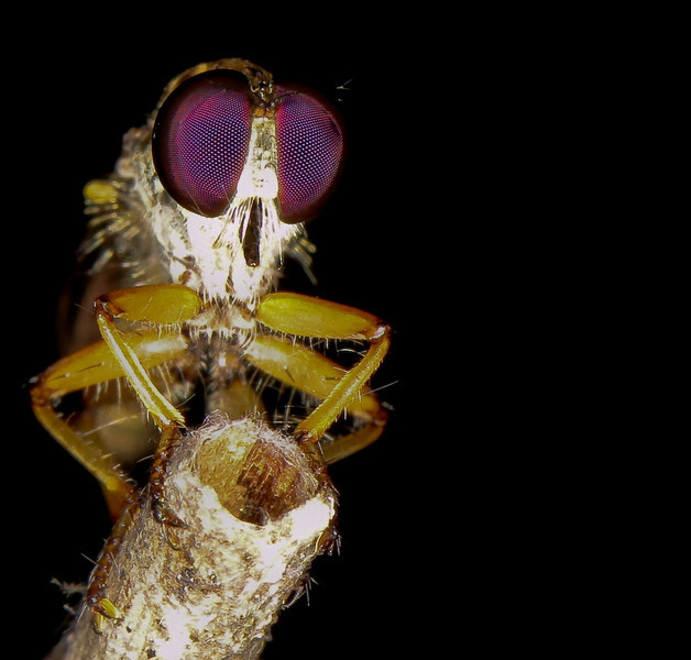 Robber fly  with its neurotoxic, protein-dissolving saliva at rest. (at original size, eyes are really cool)