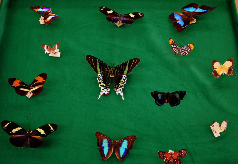 Lepidoptera day! These are from Brazil and seeing them makes me start Costa Rica dreamin'.