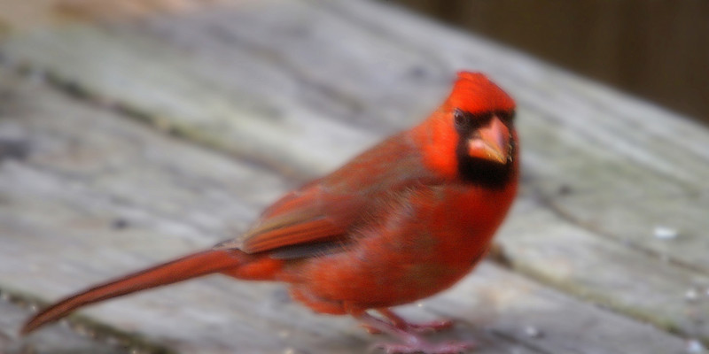 Terrible Cardinal  picture. Low light, through a screen and out of focus. Still,  a bad Cardinal picture is better than a good squirrel picture I guess. Sat on the back porch all afternoon working on Calculus and Statistics for hours. Tried to catch a few shots from my perch. A LOT lot of bird activity.  This was my best one.