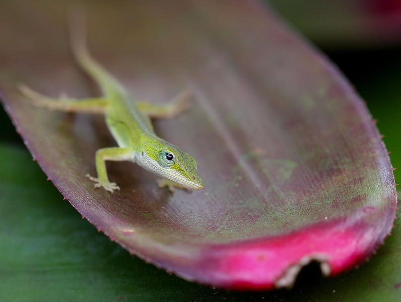 Merry Christmas little anole.