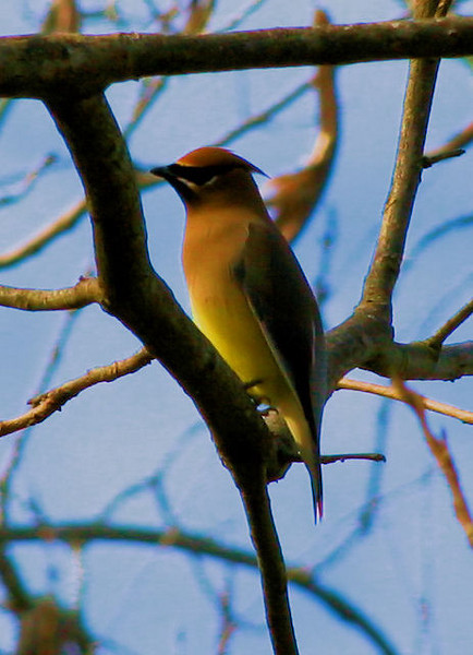 The waxwings are here! The waxwings are here! They are one of the most elegant birds and they come through for a brief time in the winter. There was a whole flock in my yard this afternoon, which of course flew away immediately as I stepped outside. I did manage this one ID shot from a distance and hope to get a better shot before they leave.