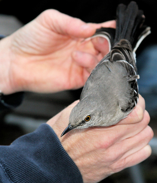 Learned about banding birds this morning. Using an invisible volley-ball type net they are caught, weighed and measured. A tag with a small metal band with a unique ID number is placed on their leg and then  they are released. (Cardinal was much more upset and aggressive by this procedure than the Mocker)