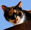This is a calico Cat on a, in-this-case, Cold Tin Roof. Sunny but still cold day. Happy Mardi Gras.