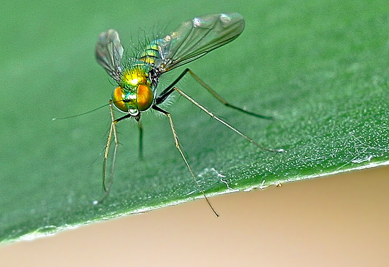 Long-legged fly coming...
