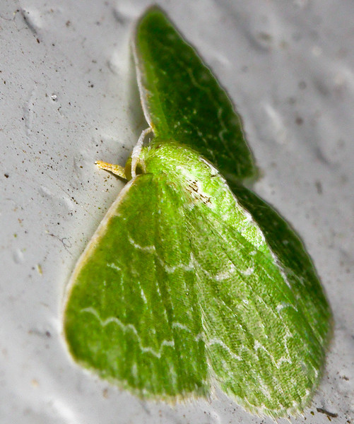 Pistachio Emerald. AKA Hethemia pistasciaria AKA pretty green moth