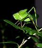 Katy Baby!<br /> I believe this is the nymph stage of the bush katydid.