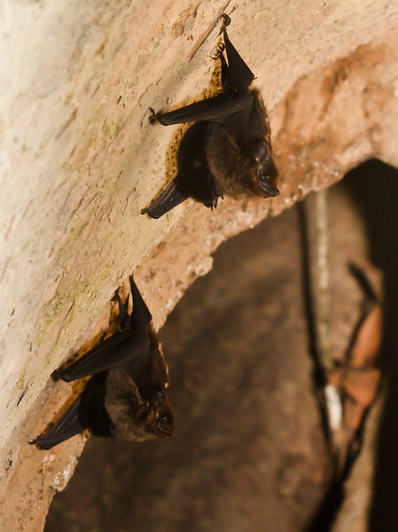 Bats with babies. Just back from a nature photo adventure in Costa Rica. Will be working on an album of favorites but posting a few here as I browse through the thousands of images. Living inside a huge tree, the baby bats are tucked under the mothers' abdomen, learning early how to hang in there.