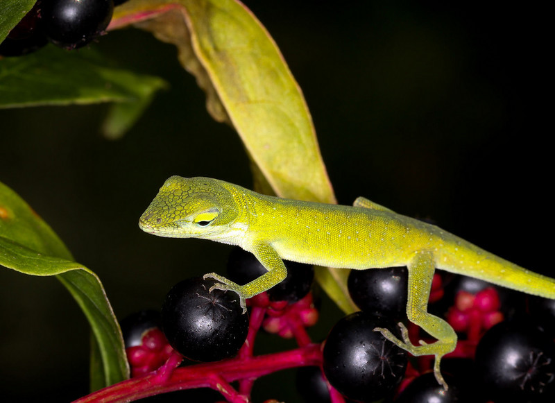 Anole on a poke (weed)
