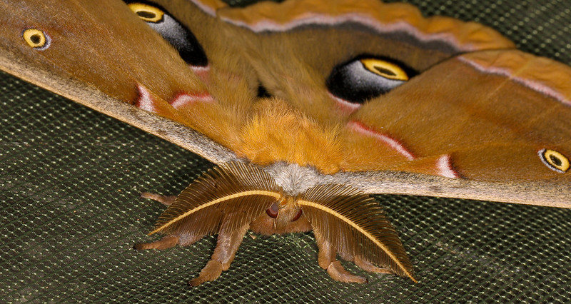 Two views of this awesome moth. He was incubated and emerged in the entomology lab over Spring break. A  polyphemus moth of the Family Saturniidea. For THAT FACE...see next photo.