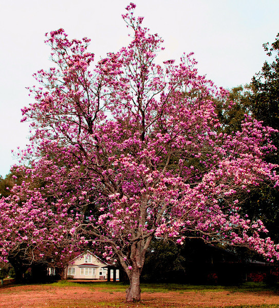 Magnolia tree on the way home, actually, past its peak. Still pretty spectacular display.
