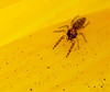 This jumping spider is soooooo tiny and translucent, it almost doesn't exist. <br /> Ghost jumper.