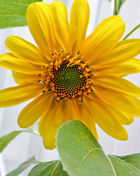 Joe planted some sunflowers. The first bloom.