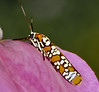 Atteva punctella = Ailanthus webworm: develops in communal tent-like webs on Ailanthus foliage. Here is the adult stage resting on a rose petal