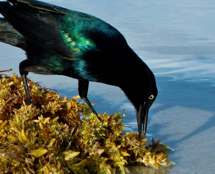 Boat-tailed grackle enjoys a Sargasso seaweed salad at the seashore.