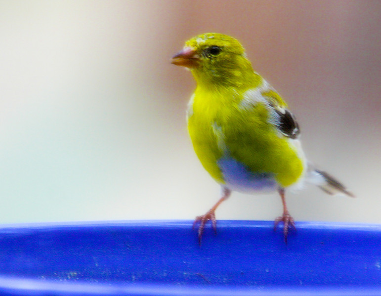 Afternoon of recovery on the back porch. Took this through the screen. Yellow goldfinch at blue water bowl.