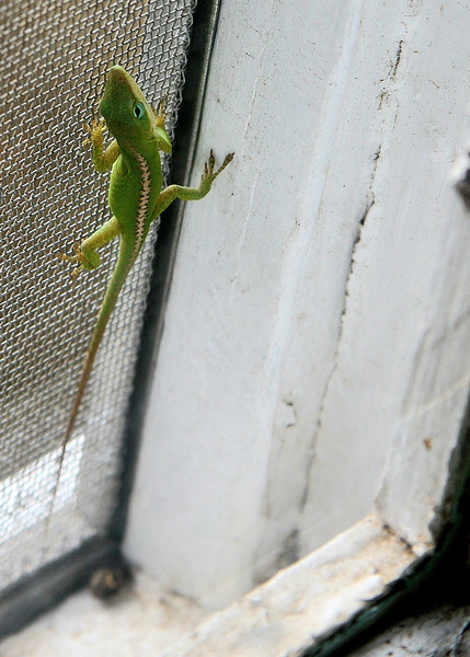 Quick shot taken of this anole caught between the screen and the window pane. I guess he knows his way in and out because I see him here often in the mid afternoon when the sun is in the right place. He is a small one, probably this year's hatch and, although well adapted, he seems grateful for the little bit of warmth on this cold and blustery afternoon.