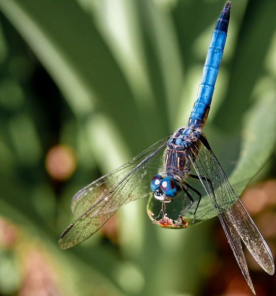 Saw this darner today looking rather spiffy in the sunshine.