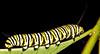 Monarch munching Milkweed.