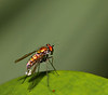 tiny fly, red and gold<br /> very quick and bright<br /> stay still for one more second<br /> before you take to flight