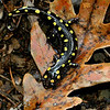 Ambystoma maculatum or Spotted Salamander was our lovely find. They come out in the Fall to mate and lay their eggs in vernal pools (temporary ie: no fish to eat their eggs). I think he is very fun. The yellow spots are actually raised a bit and irregular so it looks like they were applied with a paint brush.