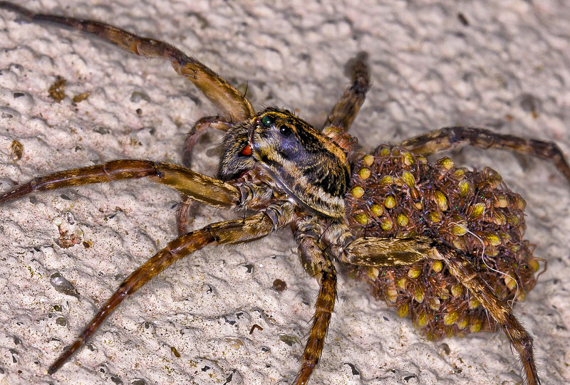 Mama wolf spider with all of her babies in tow was on my front stoop this morning.  Sorry, but you must stay outside with your charges.