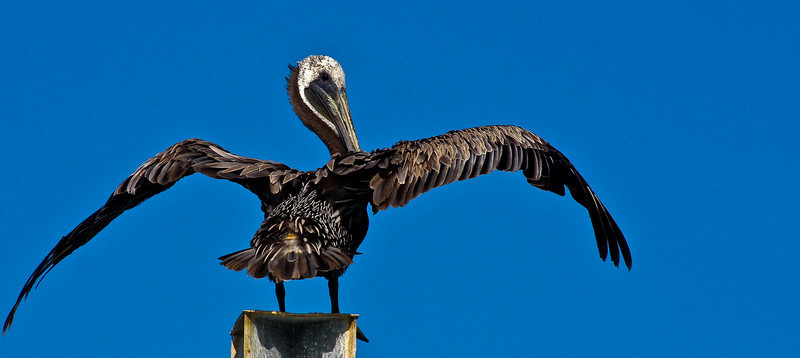 Basking in the afternoon sun, this Pelican eyes us a with a bit of suspicion as we motor by.