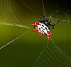 After blundering into her web, this spiny spider scrambles to make repairs. Sorry!